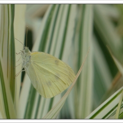 papillon au jardin (3)