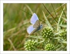 papillon bleu (5)