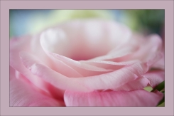 rose-douceur