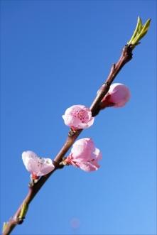 fleurs de pecher (3)