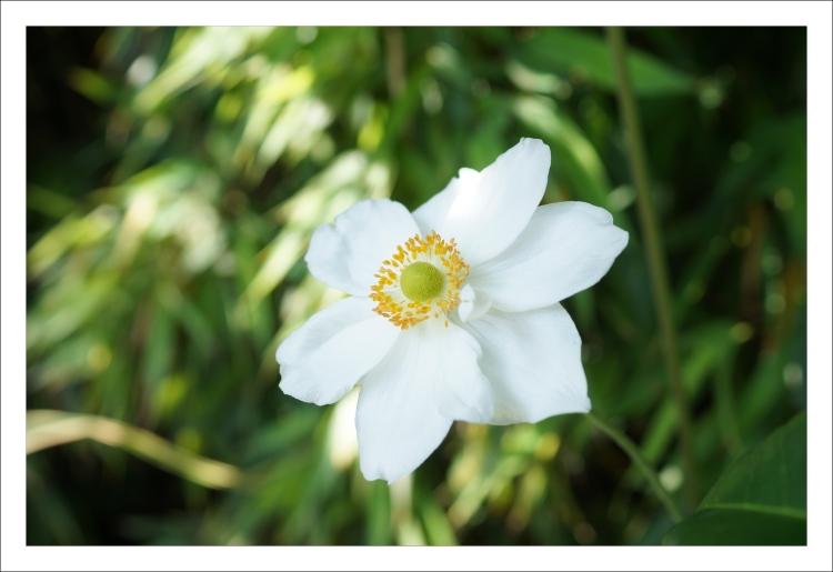 Anémones du Japon _blanches (3)
