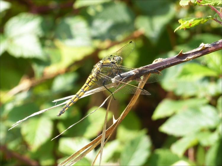 Aeshna affinis (1)